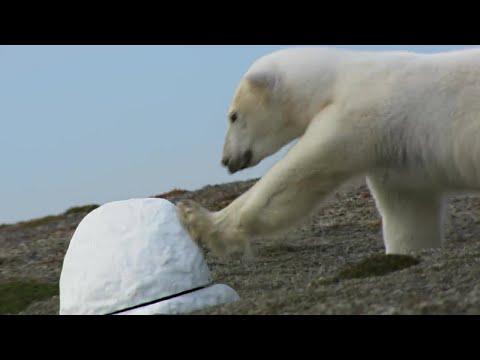 Polar Bear destroys spy cam | Polar Bear Spy On The Ice | BBC Earth