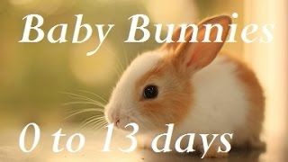 Baby Bunny Life Cycle: 0-13 Days.