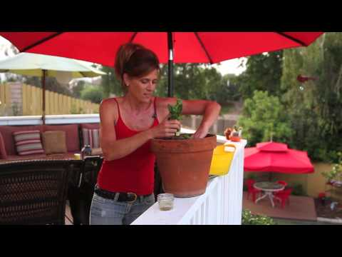 How to Replant Lettuce From The Store