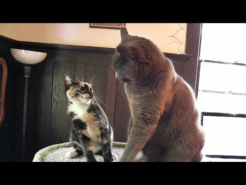 Cats vs  Kittens - An Epic Cat Tree Battle