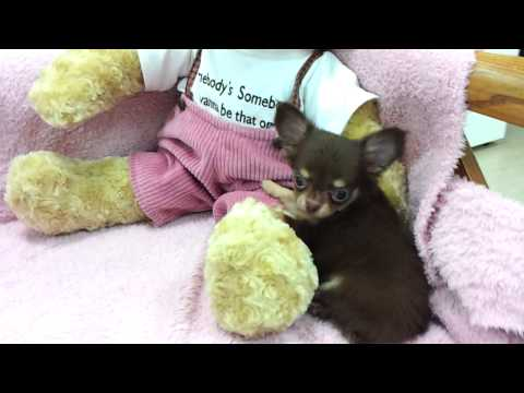 Chihuahua Puppies For Sale Albion MI 49224 - Toy Chihuahua For Sale