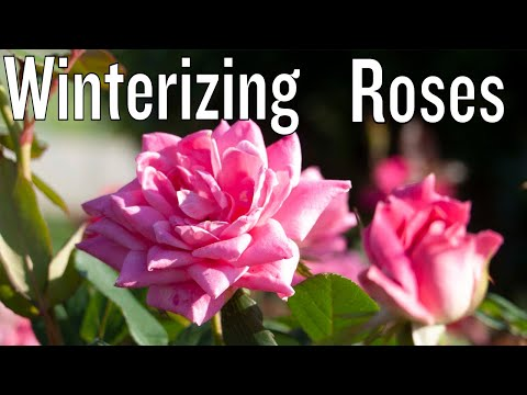 Winter Care for Knock Out and Drift Roses