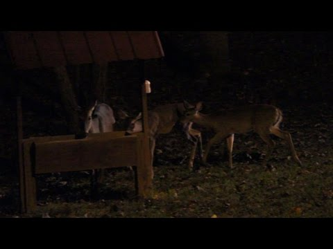 Vistors After Dark  -  Beautiful Deer By The Lighthouse Lady