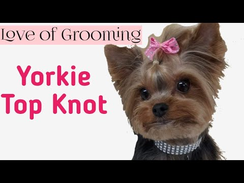 How to tie up a Yorkies TopKnot