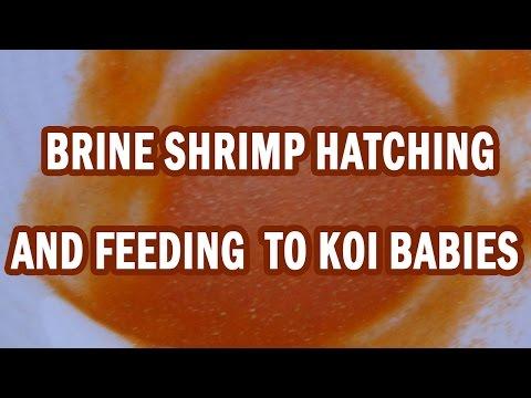 Brine Shrimp Hatchery - Artemia Feeding