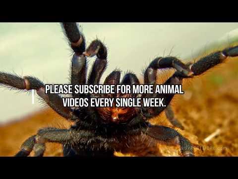 Spider, Spiders, SPIDERS  - Black Widow, Brown Recluse, Tarantula