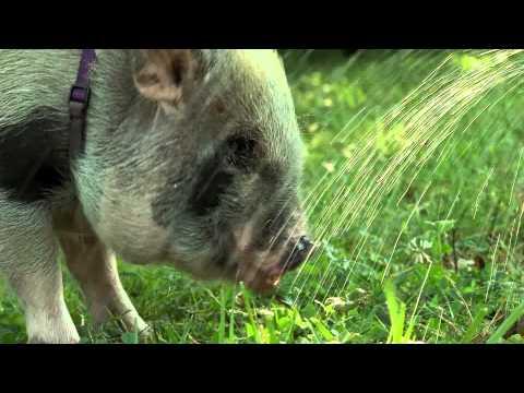 Miniature Pigs Keeping Cool - Cincinnati Zoo
