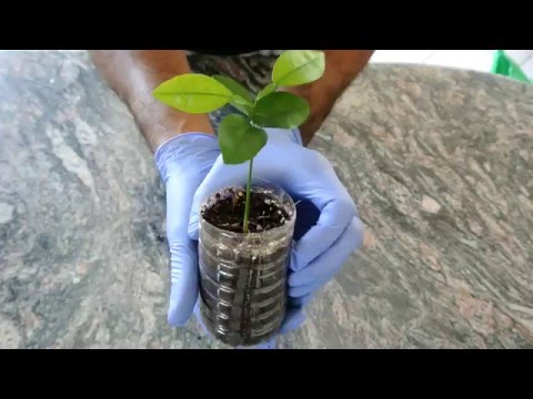 How to Grow a Lemon Tree from Seed: 2nd Update: 4 months!