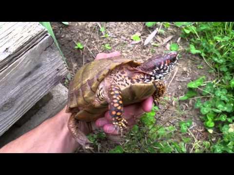 Box Turtle Enclosure (WIP)
