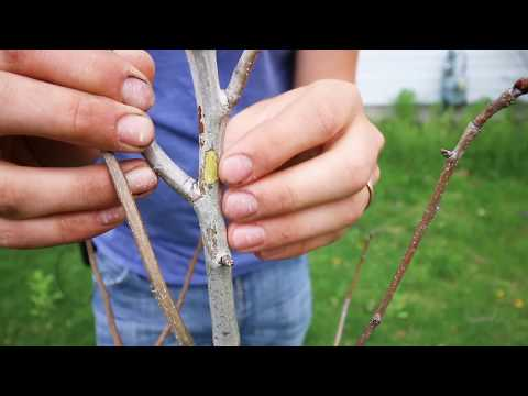 This Simple and FREE Test Tells You If Your Fruit Tree is Dead or Dormant