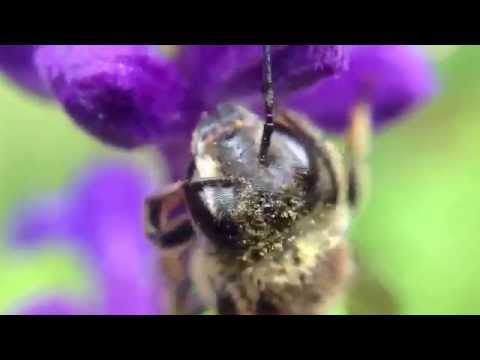 5 minutes with a leaf cutter solitary bee and a Salvia