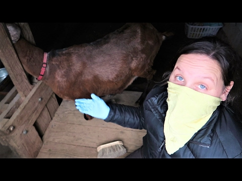 LICE ON OUR GOATS! - Treating Goat Lice With Diatomaceous Earth