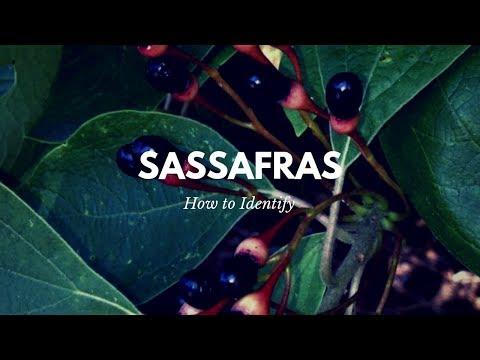 How to Identify Sassafras