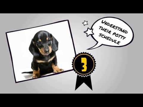 How To Potty Train A Dachshund Puppy Dog