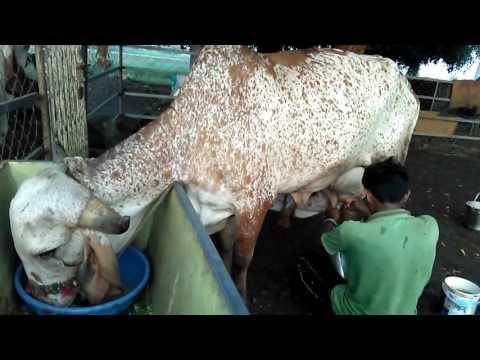 Gir Cow Milking