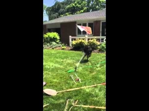 Lab Coonhound MIx - Dog vs. Sprinkler