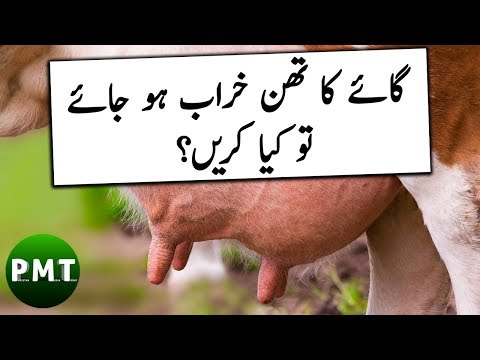 How to do SURF TEST to Diagnose Mastitis in Cows, Goats & Buffaloes Udders in Urdu | ساڑو کی پہچان؟