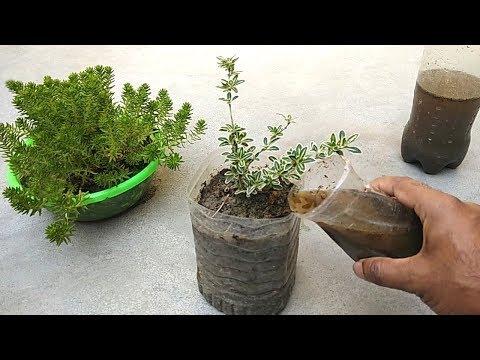 The best fertilizer for any plants | Cow dung compost fertilizer