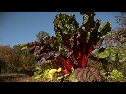 How to Grow and Harvest Chard | At Home With P. Allen Smith