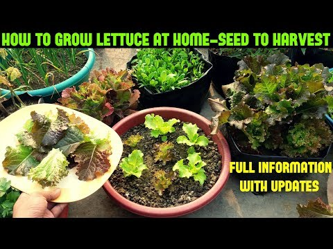 How To Grow Lettuce/Salad At Home-Full Information