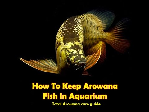 How To Keep Arowana Fish In Aquarium # Arowana Care Guide