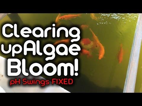 Clearing up Algae Bloom! - pH Swings Fixed