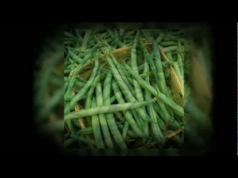Provider Bean Seeds - Grow your own beans at home! - Phaseolus Vulgaris Seeds