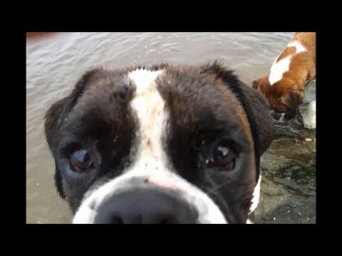 Boxer dogs Archie and Alfie swimming for first time