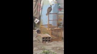 Pegando Pardal No Alçapão (caçando Passarinho)