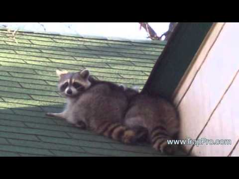 Raccoon Trapping & Humane Wildlife Removal from Homes and Businesses in Gaithersburg Maryland