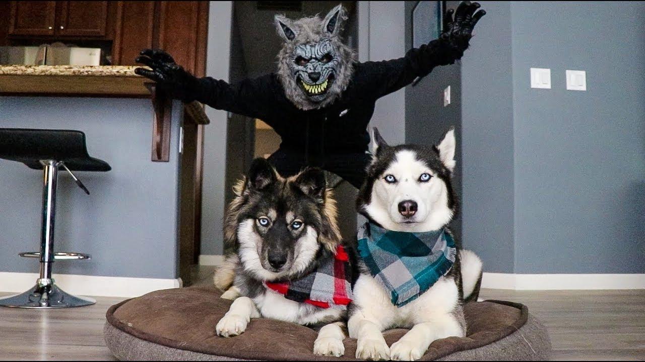 Scary Werewolf Prank On My Huskies!