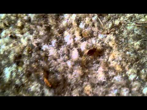 Healthy Home Pest Control finds Bedbugs on carpet.