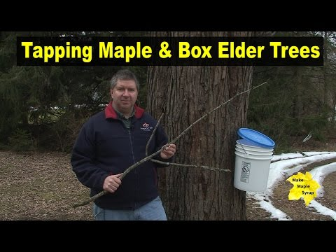 Tapping Maple & Box Elder Trees - Identify Your Trees
