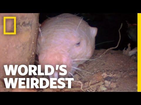 Naked Mole Rats   World's Weirdest
