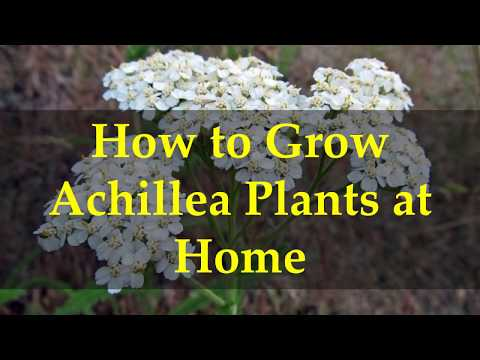 How to Grow Achillea Plants at Home