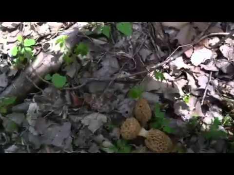 April 25th morel hunting N E Kansas