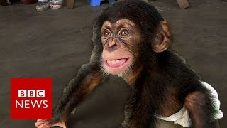 Baby chimp thriving after rescue  - BBC News