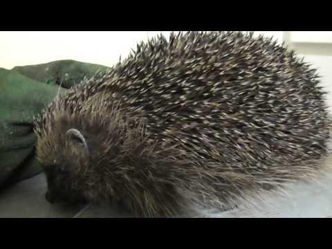 1st Adult Hedgehog awake from hibernation 16mar15 Cambridge UK 0032a
