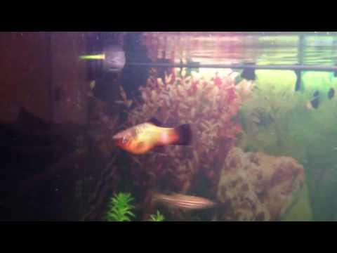 Platy Sick White Spots? Fungal infection?