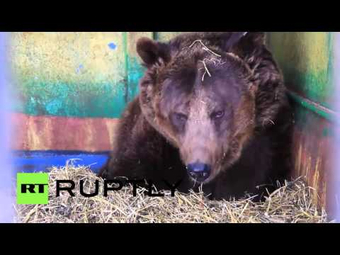 Russia: Brown bear gives birth to 5 cubs in Christmas sensation