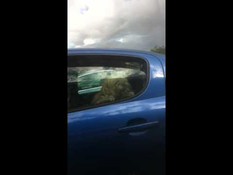 Dog barking in a car