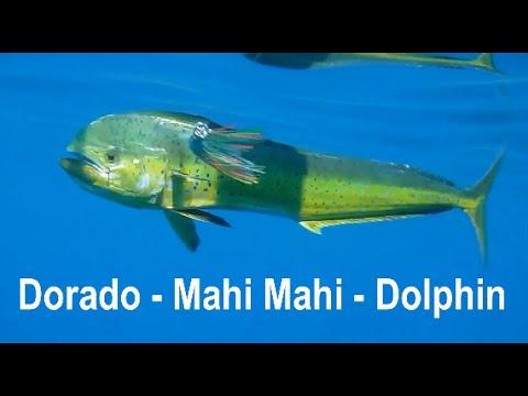 Fishing Adventures #102 - Amazing Dorado and Queenfish in Fujairah