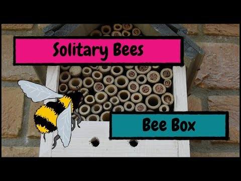 Solitary Bees Laying Eggs in a Bee Box
