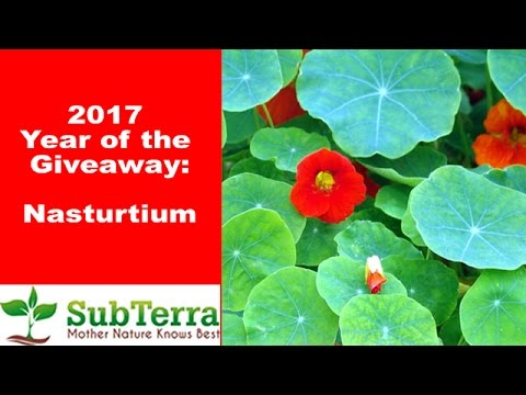Nasturtium Another Must Grow Plant for Your Garden and Homestead ** Giveaway Video **