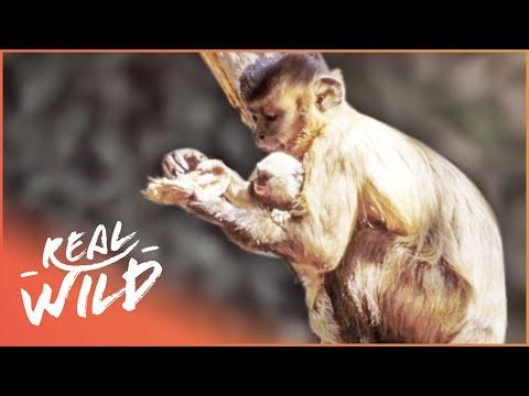 Monkeys Keep Marmoset Monkey As Pet | Wild Things