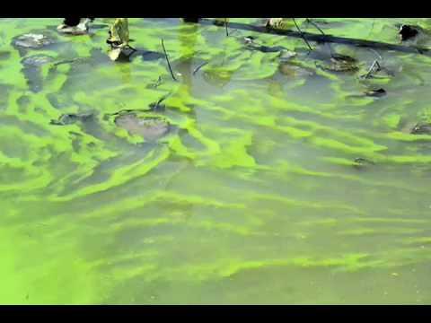 Green algae on Lake Erie