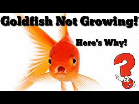|Make you Goldfish grow Faster | Reasons why your goldfishes are not growing fast |