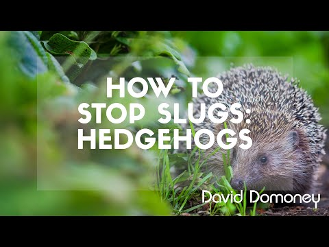 Top Tips For Preventing Slugs: Hedgehogs