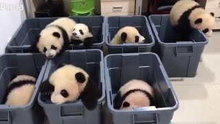 Adorable Panda Cubs Try to Climb Out of Plastic Tubs