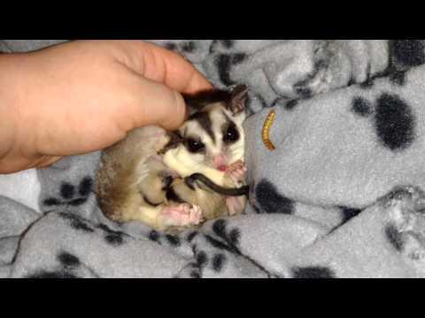 Sugar glider new born babies
